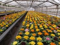 Sezonowa praca w Niemczech w ogrodnictwie przy kwiatach w szklarni Drezno