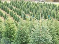 Leśnictwo sezonowa praca w Niemczech przy choinkach od zaraz Norymberga