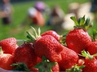 Niemcy praca sezonowa przy zbiorze truskawek od maja Scharringhausen