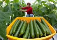 Dam sezonową pracę w Niemczech od zaraz przy zbiorze warzyw Senftenberg