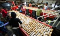 Dam pracę w Niemczech od zaraz przy sortowaniu ziemniaków, Wrestedt