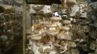 Sezonowa praca w Niemczech przy zbiorach grzybów Shiitake, Oberöfflingen