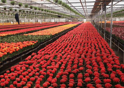 Выращивание роз в теплицах зимой 61