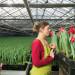pakowanie-tulipanow-kwiaty-szklarnia
