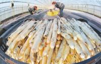 Sezonowa praca Niemcy przy zbiorach szparagów 2017 bez języka Fellbach