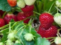 Sezonowa praca Niemcy 2017 od czerwca przy zbiorach truskawek, malin, borówek