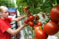 Zbiory papryki i pomidorów w szklarni sezonowa praca Niemcy od zaraz Meppen