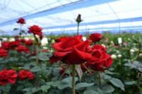 Przy kwiatach sezonowa praca w Niemczech od zaraz w ogrodnictwie 2017