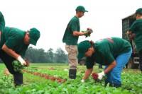 Sezonowa praca w Niemczech 2017 przy zbiorach ogórków, sałaty, pomidorów