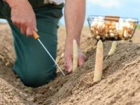 Oferta sezonowej pracy w Niemczech zbiory szparagów bez języka 2018 Warendorf