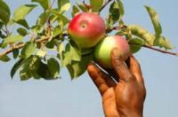 Sezonowa praca w Niemczech zbiory owoców jabłek bez języka Rostock