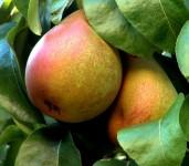 Dam pracę w Niemczech przy zbiorach owoców z sadu bez języka Pasewalk
