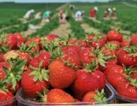 Dam pracę w Niemczech na rok 2015 przy zbiorach owoców dla studentów Drezno