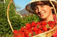 Niemcy praca sezonowa przy zbiorach owoców bez znajomości języka 2015