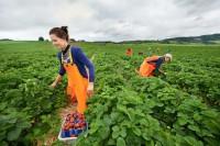 Sezonowa praca w Niemczech bez języka od czerwca 2015 zbiory truskawek, malin