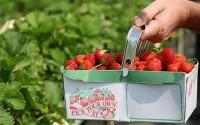 Niemcy praca sezonowa bez języka przy zbiorach truskawek kwiecień 2015