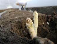 Oferta sezonowej pracy w Niemczech zbiory szparagów od zaraz Magdeburg