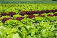 Oferta pracy w Niemczech bez znajomości języka przy zbiorach warzyw Lipsk