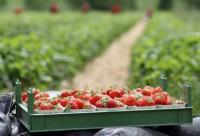 Dam sezonową pracę w Niemczech przy zbiorach truskawek dla par Zwickau bez języka
