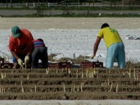Sezonowa praca Niemcy Heidelberg przy zbiorach szparagów od zaraz bez języka
