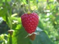 Od lipca 2015 sezonowa praca Niemcy przy zbiorach owoców malin Brandenburg