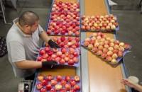 Pakowanie owoców przy taśmie praca w Niemczech bez znajomości języka Berlin