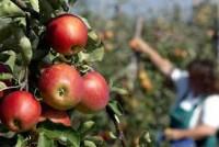 Dam sezonową pracę w Niemczech od sierpnia zbiory jabłek i gruszek 2015