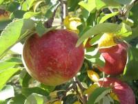 Sezonowa praca Niemcy od zaraz przy zbiorach jabłek bez języka Zgorzelec