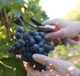 Oferta sezonowej pracy w Niemczech Fryburg zbiory winogron od września 2015