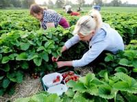 Niemcy praca sezonowa przy zbiorach truskawek od maja 2016 w Wuelfrath (dla kobiet)