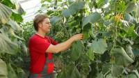 Od kwietnia 2016 dam sezonową pracę w Niemczech zbiory warzyw szklarniowych
