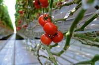 Dam sezonową pracę w Niemczech zbiory warzyw w szklarni Zwickau 2016