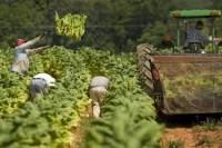 Sezonowa oferta pracy w Niemczech przy zbiorze tytoniu od zaraz Koblencja