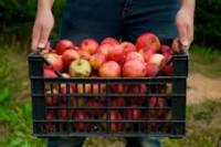 Zbiory jabłek oferta sezonowej pracy w Niemczech w sadzie dla Polaków