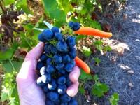 Niemcy praca sezonowa na plantacji zbiory winogron od zaraz w winnicy Kaiserslautern