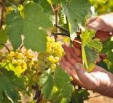 Bez języka sezonowa praca w Niemczech przy zbiorach winogron od zaraz