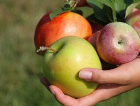 Oferta sezonowej pracy w Niemczech w sadzie zbiory jabłek i gruszek Osnabrück
