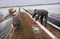 Niemcy praca sezonowa od kwietnia 2017 przy zbiorach szparagów Mötzow