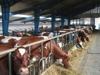 Rolnictwo oferta pracy sezonowej w Niemczech przy udoju krów Erfurt