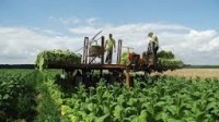Niemcy praca sezonowa 2017 przy zbiorach tytoniu w Koblencji bez języka niemieckiego