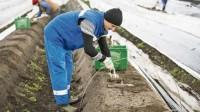 Oferta sezonowej pracy w Niemczech zbiory szparagów od kwietnia 2018
