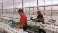 Ogrodnictwo praca w Niemczech przy sadzonkach bez języka, Gensingen 2018