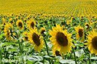 Ogrodnictwo Niemcy praca sezonowa przy ścinaniu kwiatów bez języka 2018