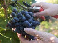 Niemcy praca sezonowa bez języka od siepnia 2018 przy zbiorach winogron Walldorf