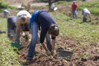 Sezonowa praca w Niemczech bez języka od zaraz przy zbiorach ziemniaków Dargun
