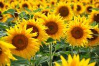 Sezonowa praca w Niemczech bez języka w ogrodnictwie przy kwiatach Karlsruhe