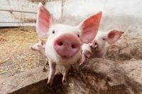 Oferta pracy w Niemczech w rolnictwie jako pracownik farmy z trzodą chlewną, Turyngia