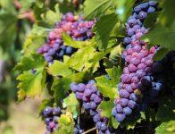 Niemcy praca sezonowa od zaraz przy zbiorze winogron bez języka Karlsruhe
