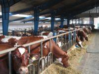 Sezonowa praca Niemcy w rolnictwie pracownik fermy bydła k. Monachium