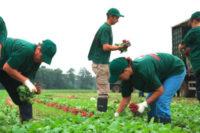 Sezonowa praca Niemcy bez języka przy zbiorze warzyw od zaraz Dortmund